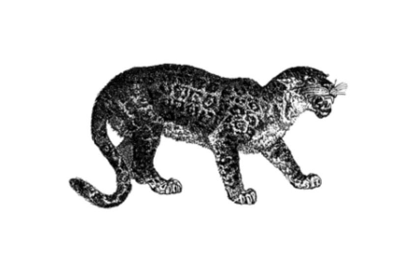Texas Jaguar Featured