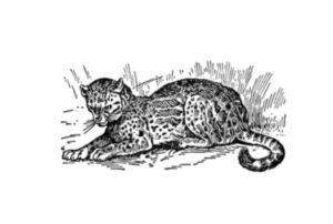 Texas Ocelot Featured