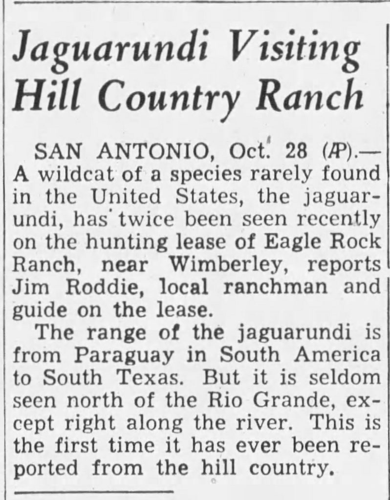 Texas hill country jaguarundi