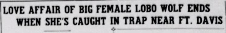 Female Wolf West Texas Headline